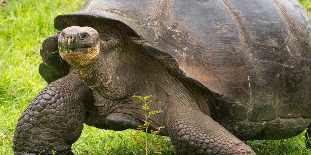 https://active-voyages.fr/wp-content/uploads/2019/05/Une-tortue-géante-des-Galapagos-les-îles-Galapagos-en-Équateur-en-Amérique-du-Sud_Voyage_sur_mesure_voyage_en_famille_active_voyages_Montpellier-1280x640.jpg