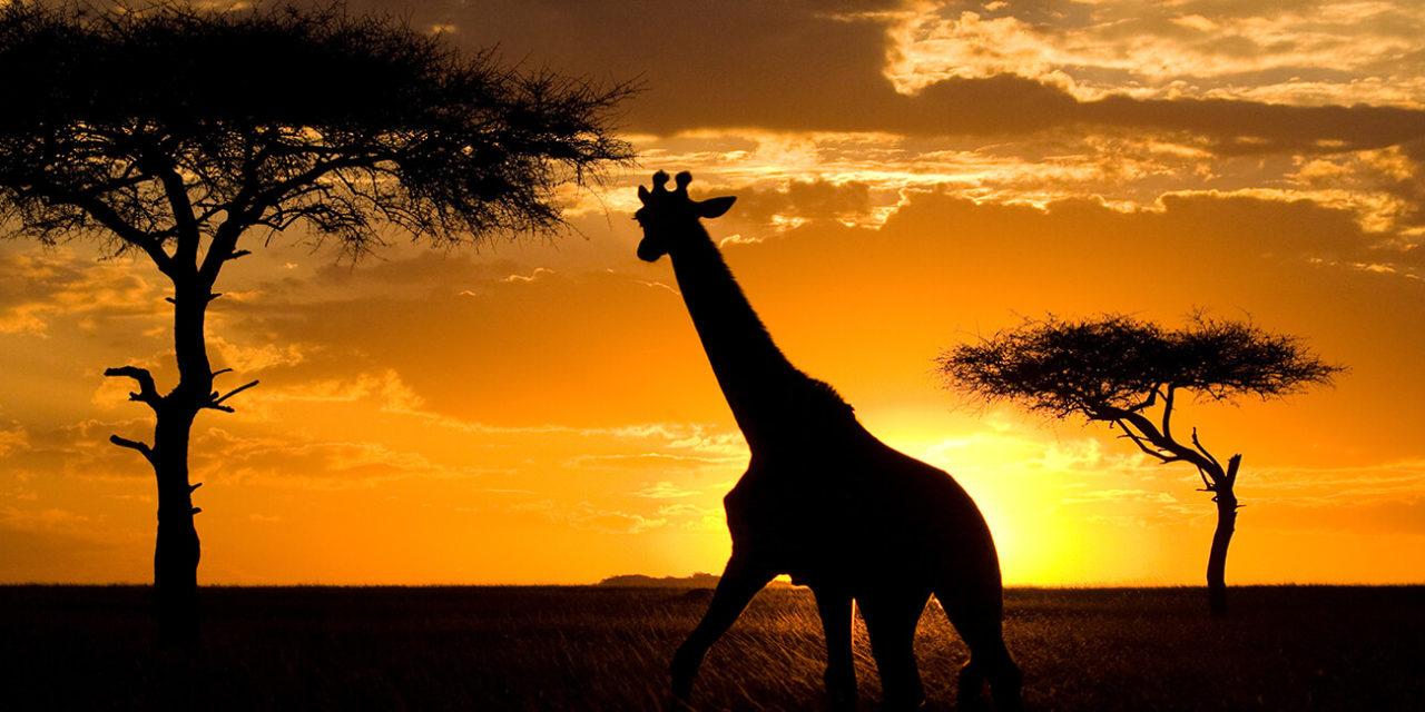 https://active-voyages.fr/wp-content/uploads/2020/02/Girafe-au-coucher-du-soleil-dans-la-savane.-Kenya.-Tanzanie.-Afrique-de-lEst.-Une-excellente-illustration.-2-1280x640.jpg