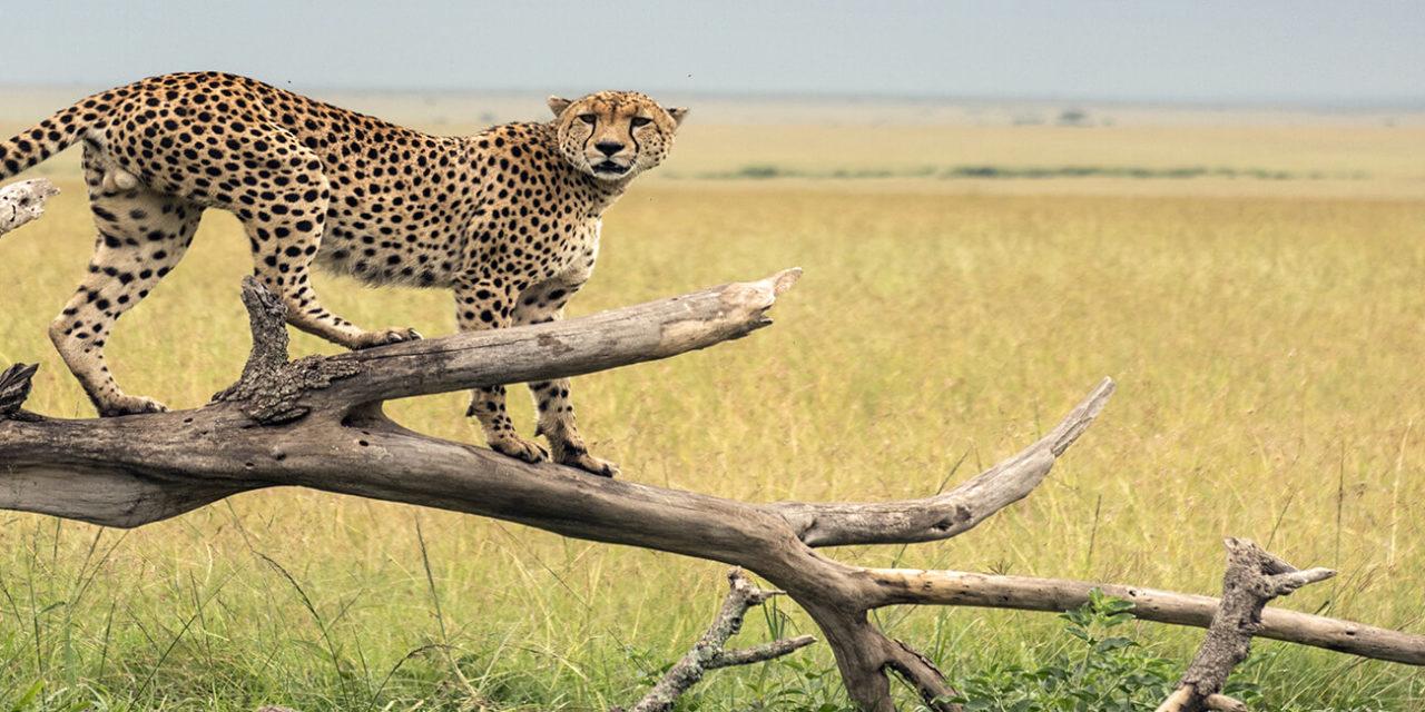 https://active-voyages.fr/wp-content/uploads/2020/02/Guépard-sur-une-branche-dans-le-parc-Masaï-Mara-kENYA-1280x640.jpg
