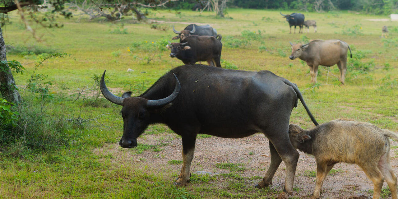 https://active-voyages.fr/wp-content/uploads/2020/03/Water-Buffalo-in-water-in-Wilpattu-National-Park-in-Sri-Lanka-1280x640.jpg